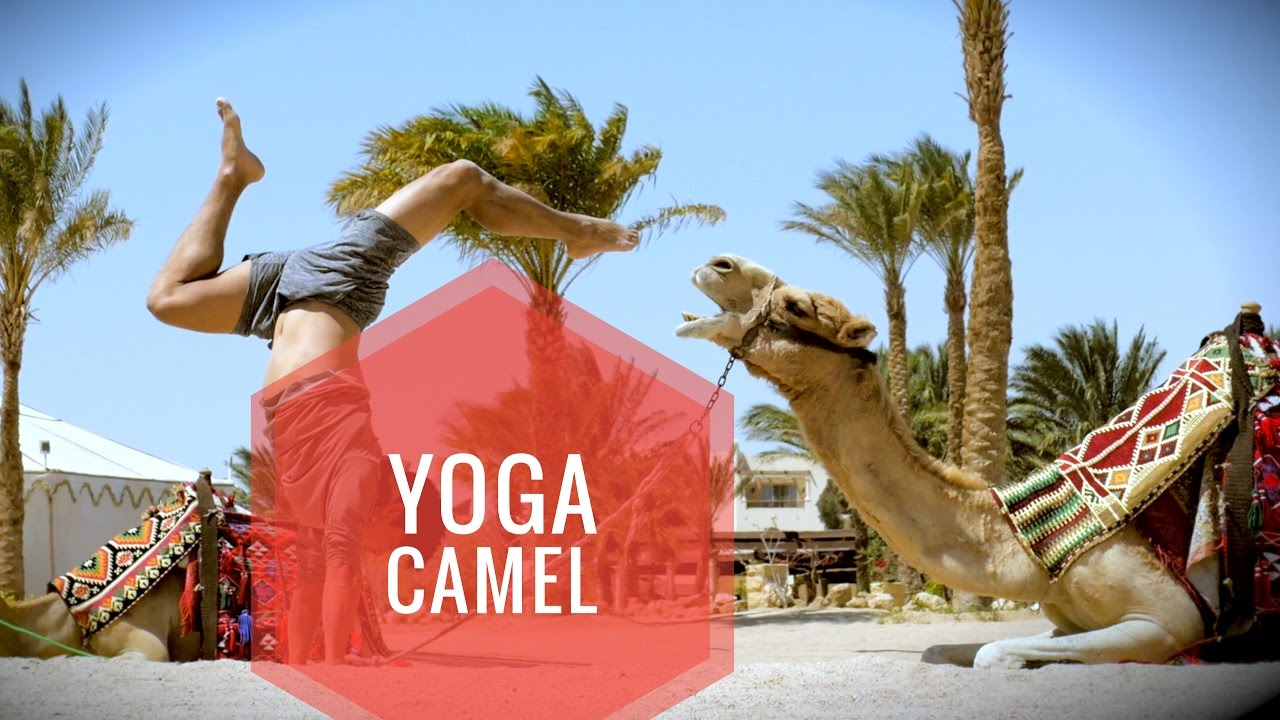 Yoga with a Camel